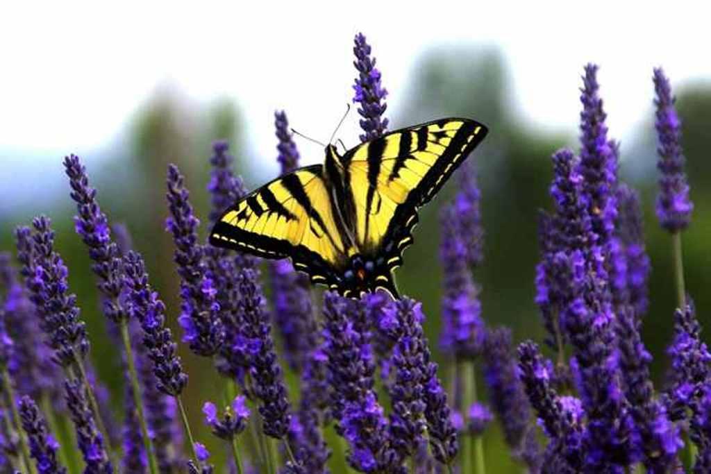 szarnyalo pillangok 2