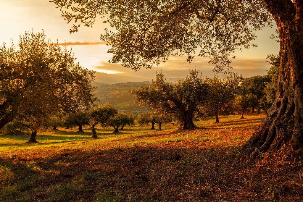 oliva fák